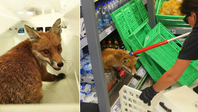 Liška v Penny způsobila paniku: Zákazníci byli víc vyděšení než zvíře