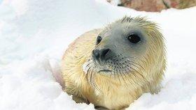 Rusko zakázalo lov tuleních mláďat mladších jeden rok