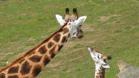 Zoo pokřtila mládě žirafy a hrabáče. Známe jejich jména