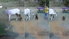 Brutální video: Kráva nakopla batole, dítě letělo vzduchem jako hadrová panenka