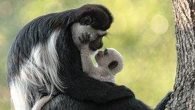 Další křest v Zoo Praha: Malá opička se jmenuje Kibo