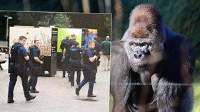 Gorila v zoo rozbila sklo a utekla z výběhu: Lovili ji policejní ozbrojenci a vrtulník