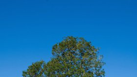 Nepopulární opatření v Běchovicích: Dva jasany přišly o větve. Prodlouží jim to životnost