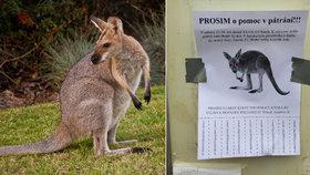 V Praze hledají klokana. Katce ukradl batoh i s mobilem a želé