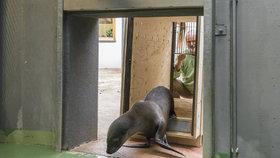Pražská zoo si s Německem vyměnila lachtaní samičky. Do české party přibyla Ronja