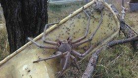 Noční můra: Největší Huntsmanův pavouk na světě! Je velký jako lidská hlava