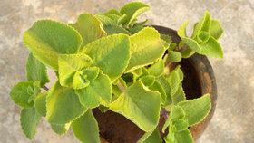 Pořiďte si rýmovník! Zázračnou rostlinu můžete pěstovat i doma