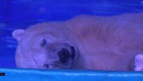 """Happy end pro nejsmutnějšího ledního medvěda? Z nákupáků putuje """"domů"""" do zoo"""