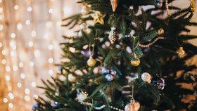 Jak se starat o vánoční stromek, aby vydržel a neopadal? Kupte ho co nejdříve a zalévejte
