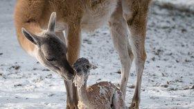 V Zoo Praha přibývají mláďata i v mrazu: Lama rodila před zraky návštěvníků