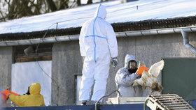 Smrtelná ptačí chřipka se vrátila do Česka.Veterináři nakažené ptáky utratí