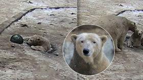 Medvíděti v brněnské zoo šlo o život: Topilo se v bazénku, kam spadlo dírou v ledu