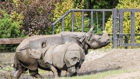 V ZOO Plzeň se narodilo druhé mládě vzácného nosorožce indického