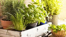 Voňavé bylinky, které v zimě můžete pěstovat na parapetu