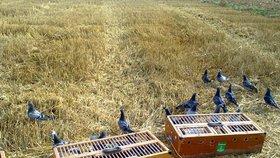 Pražané chovají poštovní holuby. Místo doručování dopisů už jen závodí