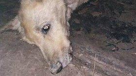 Pes visel na plotě se zlomenou nohou, majitel ho jen hodil do kotce