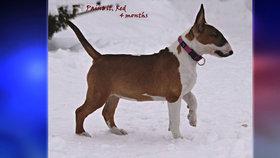 Na Proseku se ztratilo štěně bulteriéra: Možná ho odtáhl bezdomovec - neviděli jste ho?