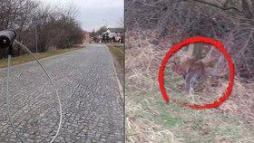 Strážníci v Úvalech naháněli klokana: Chytila ho lstí až sama majitelka