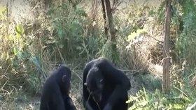Mají zvířata pohřební rituály? Šimpanz očišťoval tělo svého mrtvého syna
