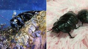 Trend v Praze: Syčící šváb jako domácí mazlíček. Bez hlavy přežije celý měsíc