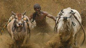Indonéský extrémní závod: Chyť krávu za ocas a udrž se co nejdéle!