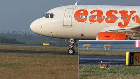Mezi letadly na Ruzyni kličkují zajíci. Co se stane, když vběhnou pod kola?