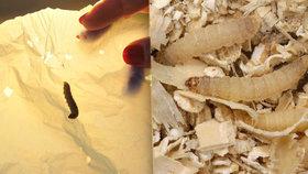 Igelitové sáčky má zničit hmyz. Vědci našli housenky požírající plast