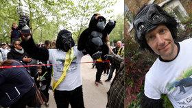 Policista chtěl pomoct gorilám. Maraton zdolal po čtyřech v opičím kostýmu