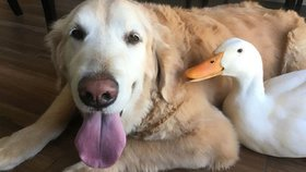 Dojemné přátelství psa a kachny: Dřív se nesnášeli, teď bez sebe nemůžou být