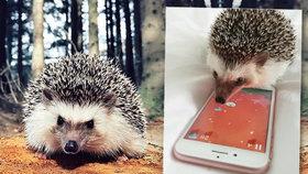 Tenhle ježek je hvězda sociálních sítí: Paří mobilní hry a má statisíce sledujících
