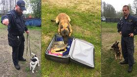O české psy se rvou i ve světě: Vyčuchají peníze a drogy, stojí až 400 tisíc