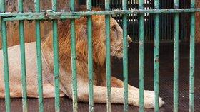 Lev zaútočil na Hradecku. Muž mu strčil ruce do klece kvůli fotce
