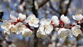 Česká jablka a meruňky v ohrožení: Stromy ničí mráz, zasáhne i stát