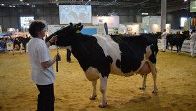 Kráva rekordmanka už nadojila plný bazén! Šampionka Izabela dává denně 45 litrů mléka