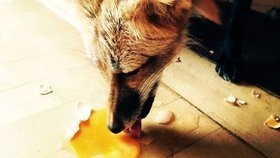 V Břeclavi dávají lišky dobrou noc: Kvůli počasí a hladu se stahují do města