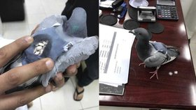 Holub pašerák: Kuvajtská policie zadržela opeřence se 178 tabletami extáze