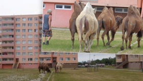 Z cirkusu v Žatci utekli 4 velbloudi: Chytali je strážníci mezi paneláky