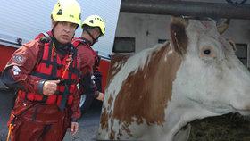 Strážník z České Lípy pomáhal topícímu se teleti, útočila na něj přitom kráva, mládě nepřežilo