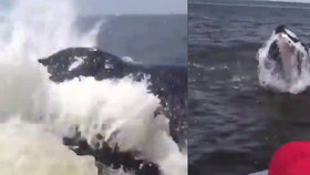 Velryba vrazila v plné rychlosti do rybářské lodi. Vymrštila ji do vzduchu