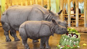 Nosorožčí holčička Růženka přibrala čtvrt tuny: Ke křtinám dostala dort ze zeleniny