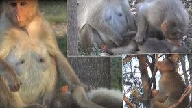 Opičí mámě zabil elektrický proud mládě: S tělíčkem se nechtěla rozloučit celé dny