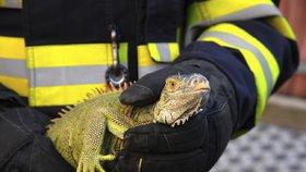 Kuriózní zásah pražských hasičů: Ze střechy sundávali leguána
