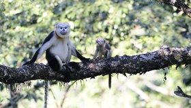 Langury lidstvo skoro vyhubilo: Teď se na jejich podporu poběží ostravskou zoo