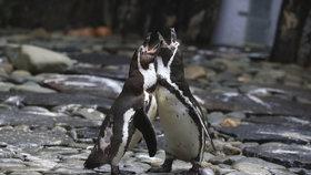 Tučňákům v pražské zoo začíná s podzimem lásky čas: Zamilovaní troubí!