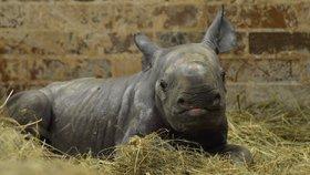 Radost v zoo ve Dvoře Králové. Narodila se tu samička nosorožce dvourohého