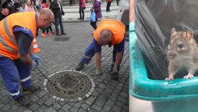 Praha zamořená potkany: Deratizátoři do kanálů nasypali 13,5 tuny jedu