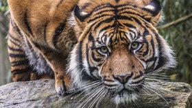 Vybíravý tygr Dandys jede z Brna do Jihlavy za novou nevěstou: Doma má »starou«, se kterou nechce mladé