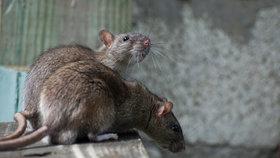 """""""Jsme ve válce."""" New York zamořily krysy, můžou jich být desítky milionů"""
