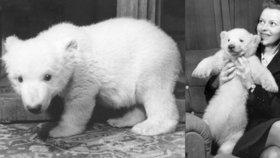 První lední medvídě v Praze choval doma ředitel zoo. Sněhulku čekal smutný osud