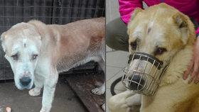 Vyhladovělého a postřeleného psa zachránila před smrtí stanice: Senior ho daroval, nový majitel nejspíše týral